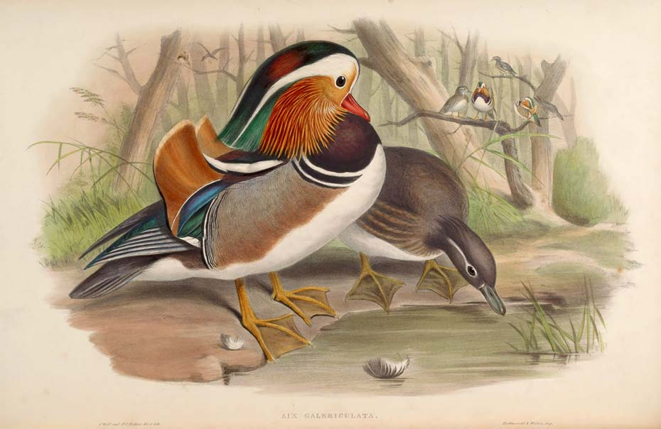 Madarin ducks, illustration from Birds of Asia by John Gould